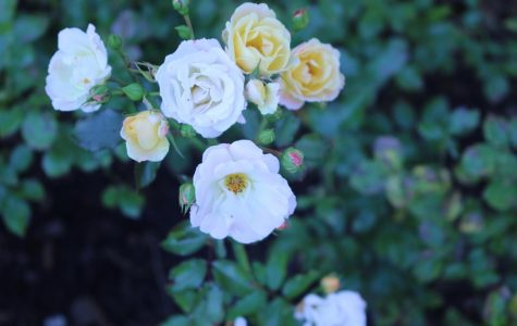 Remember the roses that bloom right in front of the school? Soon come